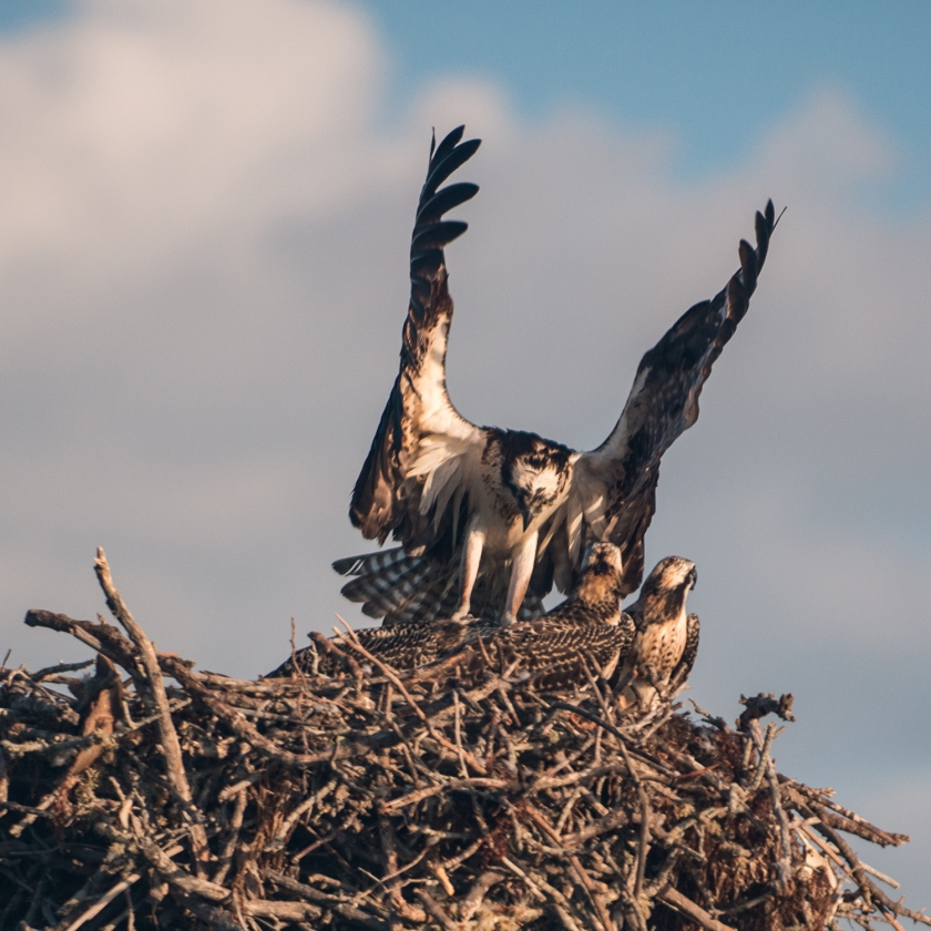 #osprey, #nest, #babies, #cry, #chirp, #hungry, #pelicanbay, #naples, #florida, #wildlife, #birds, #nature