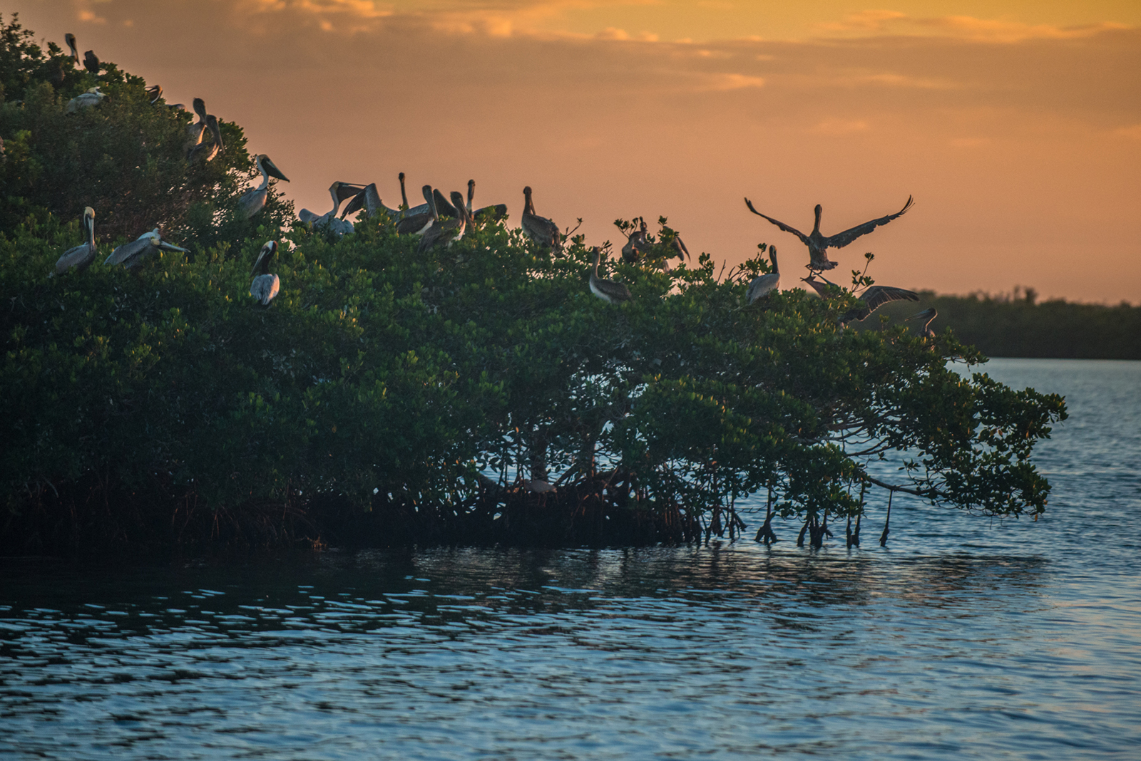#sunset, #pelican, #orangeandblue, #rookerybay, #rookeryisland, #mangrove, #goodnight