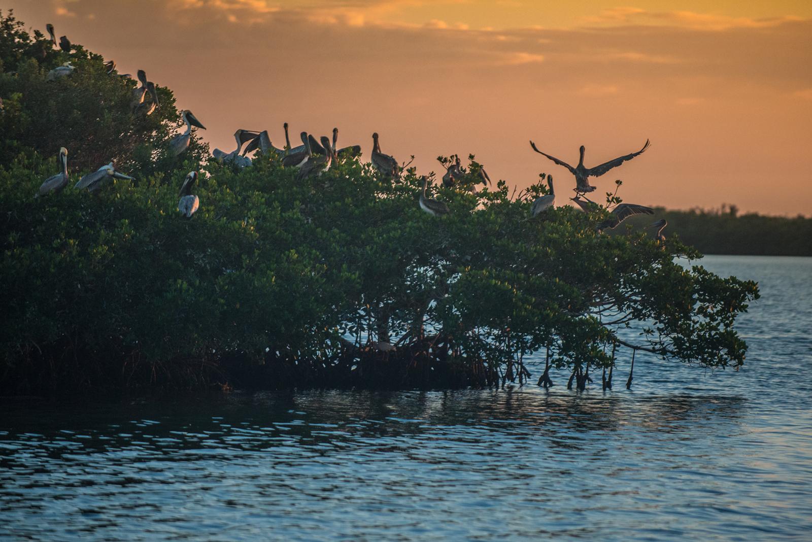 #sunset, #pelican, #orangeandblue, #rookerybay, #rookeryisland, #mangrove, #goodnight