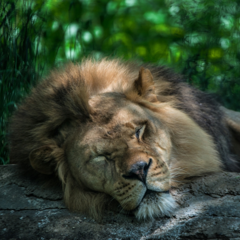 #lion, #zoo, #Pittsburghzoo, #600mmlens, #nikond800, #nature, #wildlife