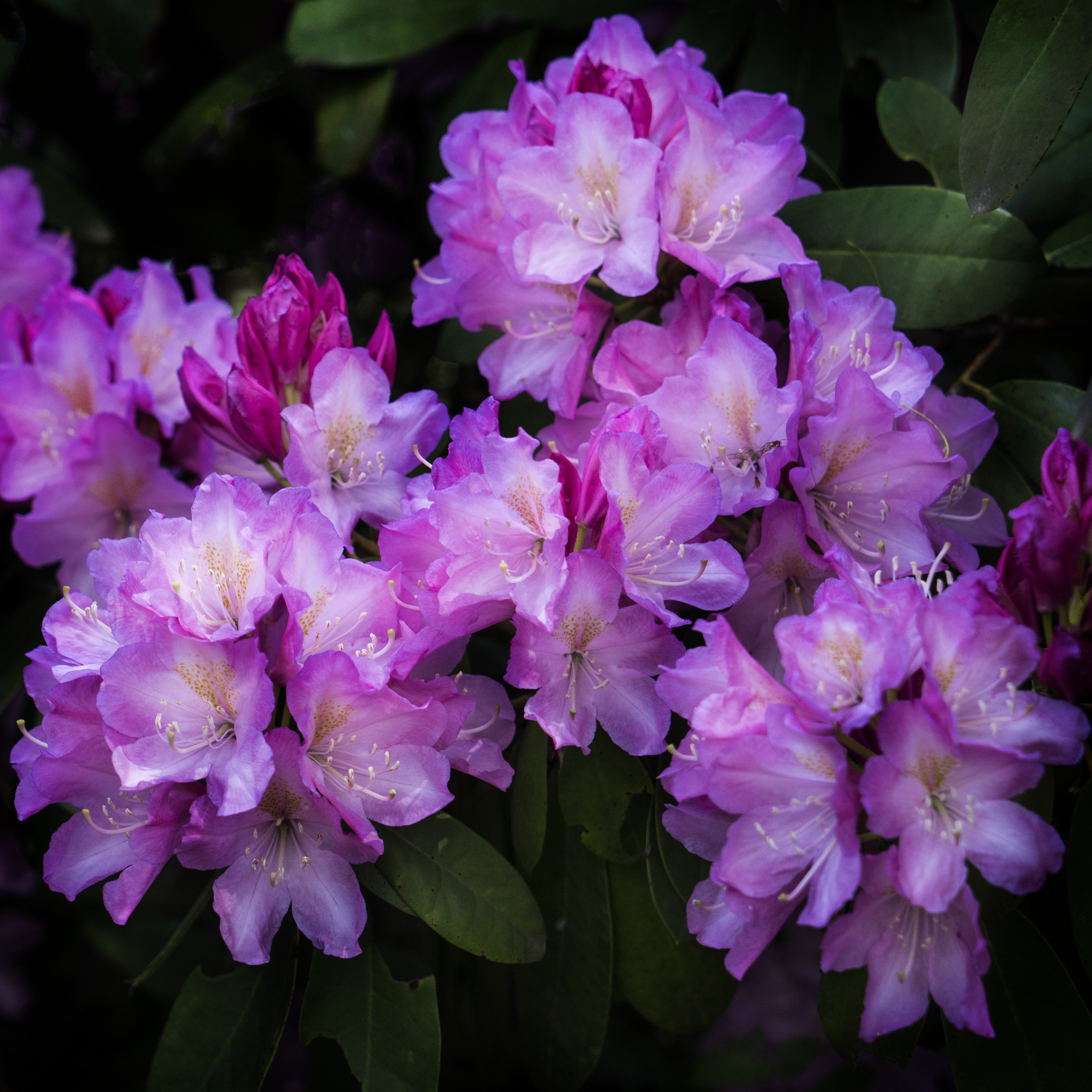 #spring, #may, #Ireland, #pennsylvania, #rhododendron, #bloom, #pink