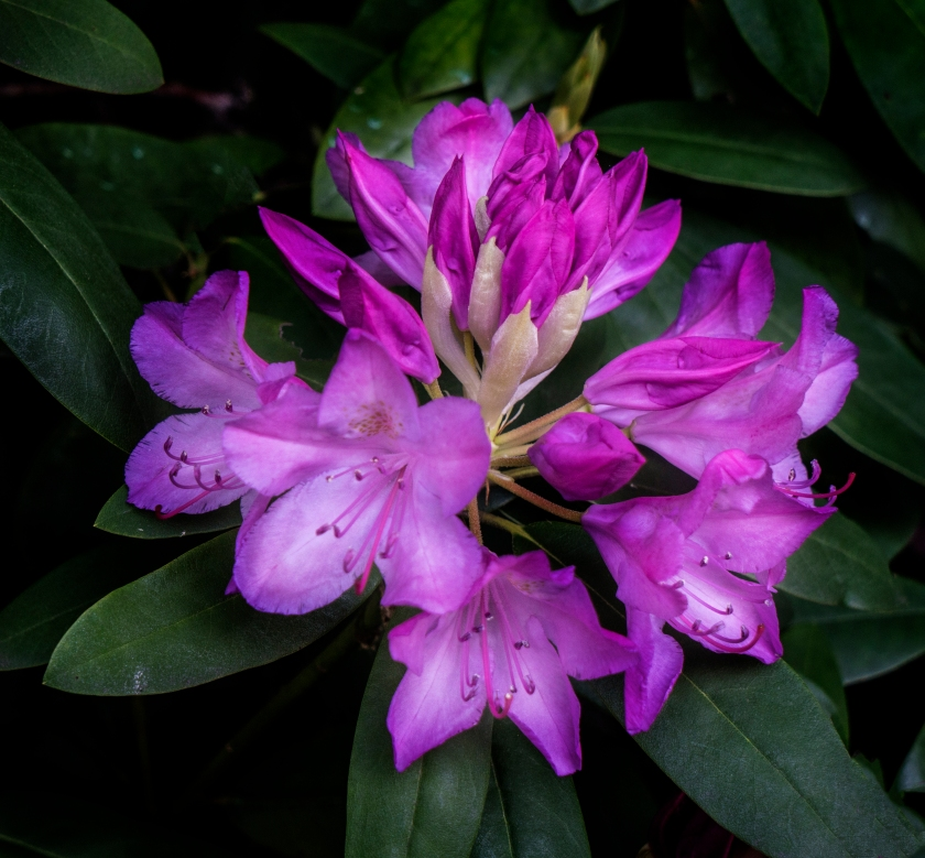 #spring, #may, #rhododendron, #nature, #sony