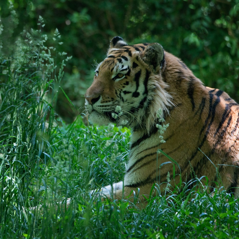 #pittsbughzoo, #zoo, #tiger, #wildlife. #lens, #600mmlens, #nikond800
