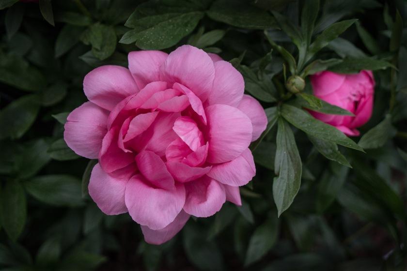 #NYBG. #newyork, #peony, #flowers, #spring, #pink