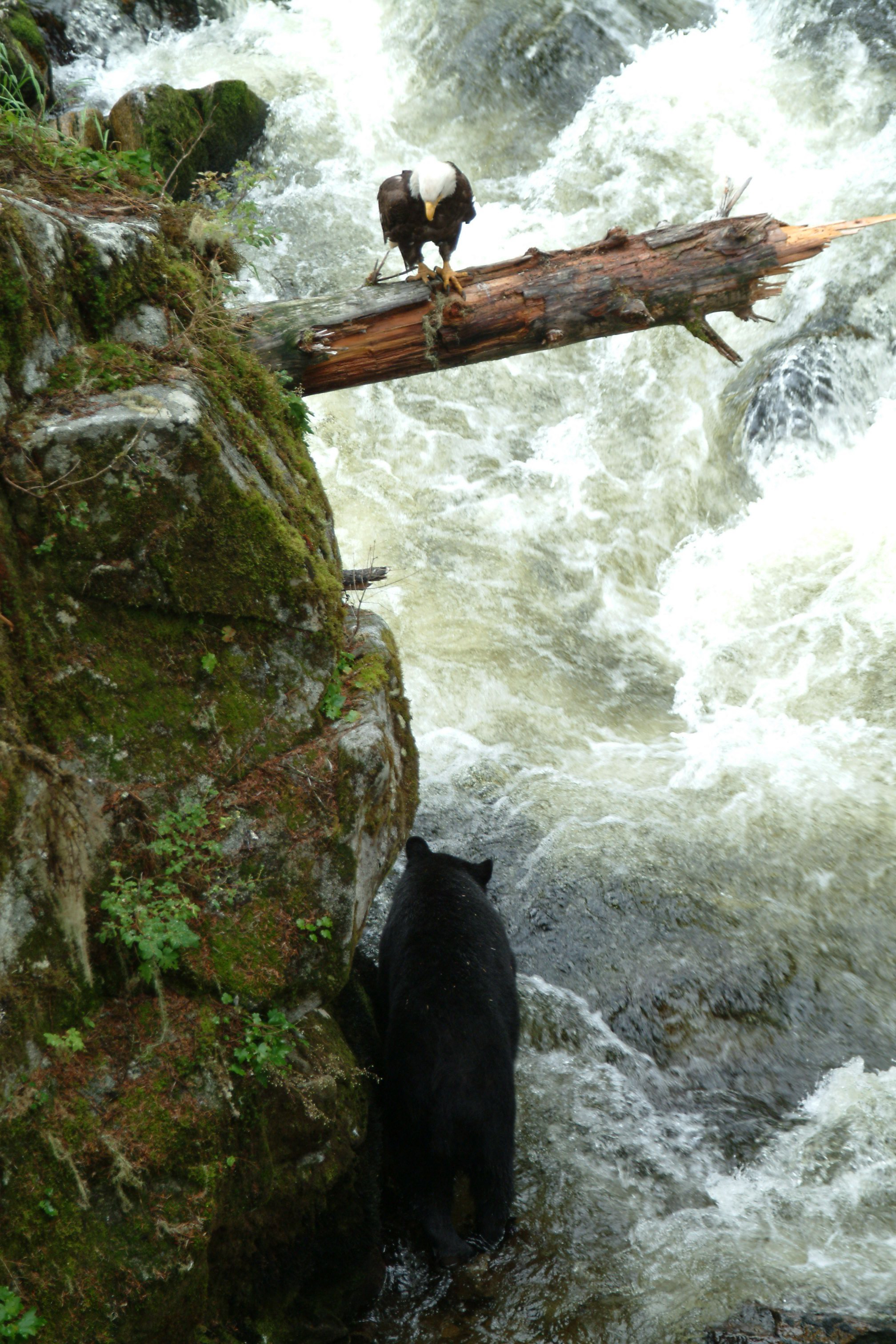 #eagles, #bear, #salmon, #July, #alaska, #wrangell, #silversea, #wildlife