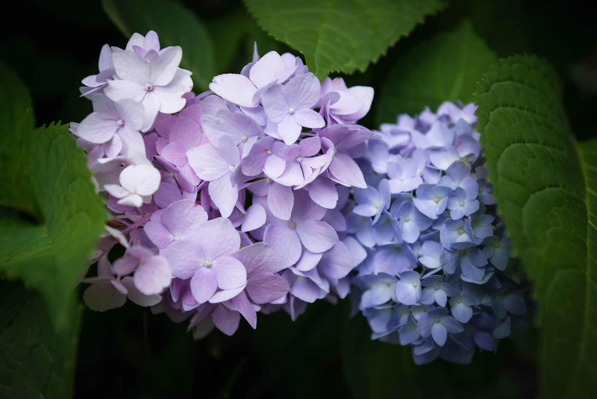 #hydrangea, #july, #pinkandblue, #favoriteflower, #nature, #flowers, #nikon, #sewickley, #pennsylvania
