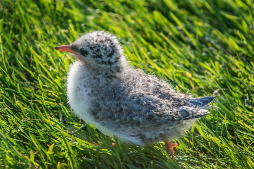 #arctictern, #tern, #bird, #chick, #baby, #iceland, #vigur, #nesting, #wildlife, #birdphotography