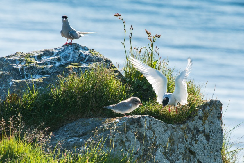 #birds, #wildlife, #arctictern, #chick, #sea, #iceland, #nesting, #july, #vigur, #island