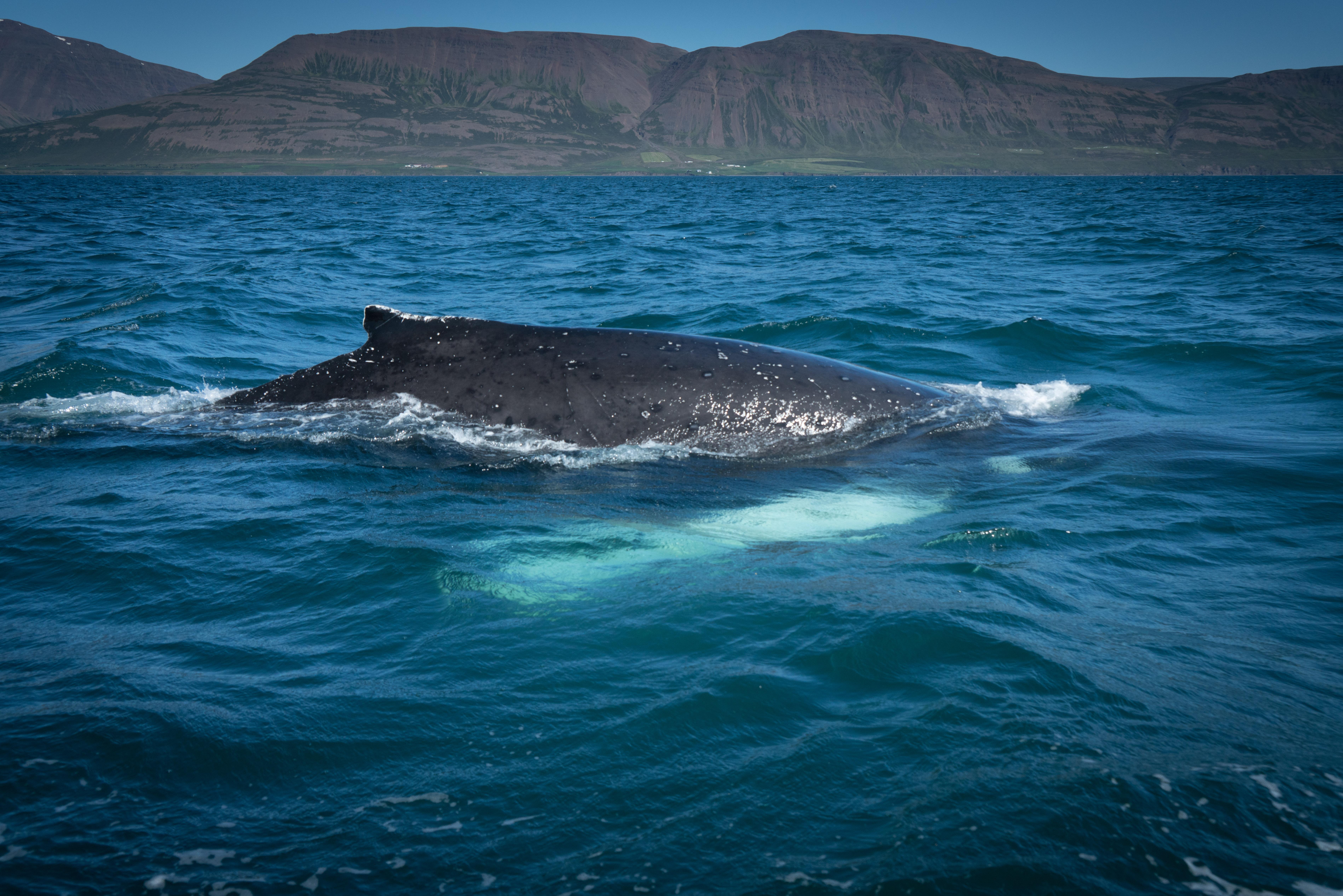 #whale, #humpback, #fjord, #akureyri, #rib, #whalewatch, #wildlife, #nature, #windstar