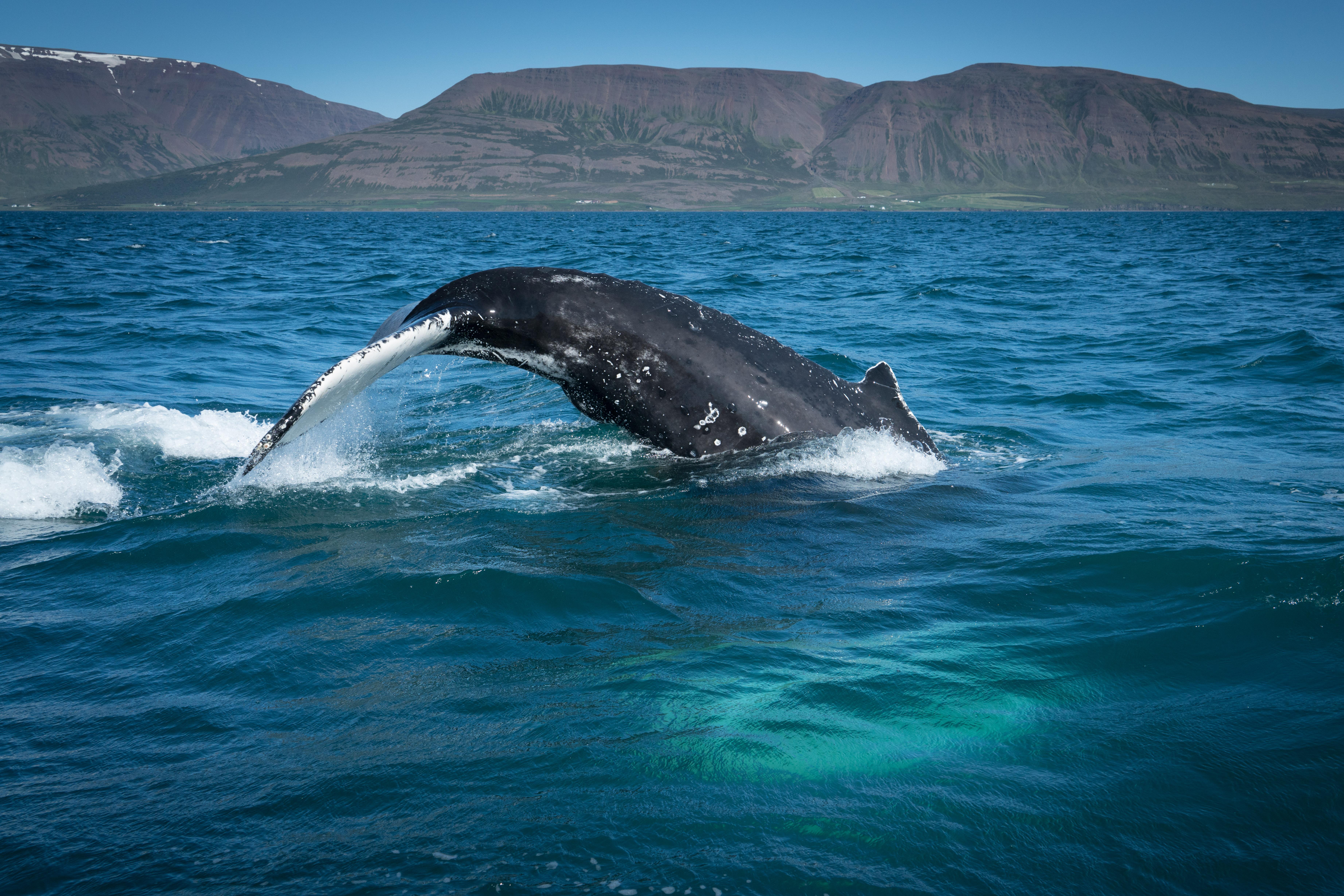 #whale, #humpback, #jackson, #fjord, #iceland, #rib, #akureyri, #wildlife, #windstar
