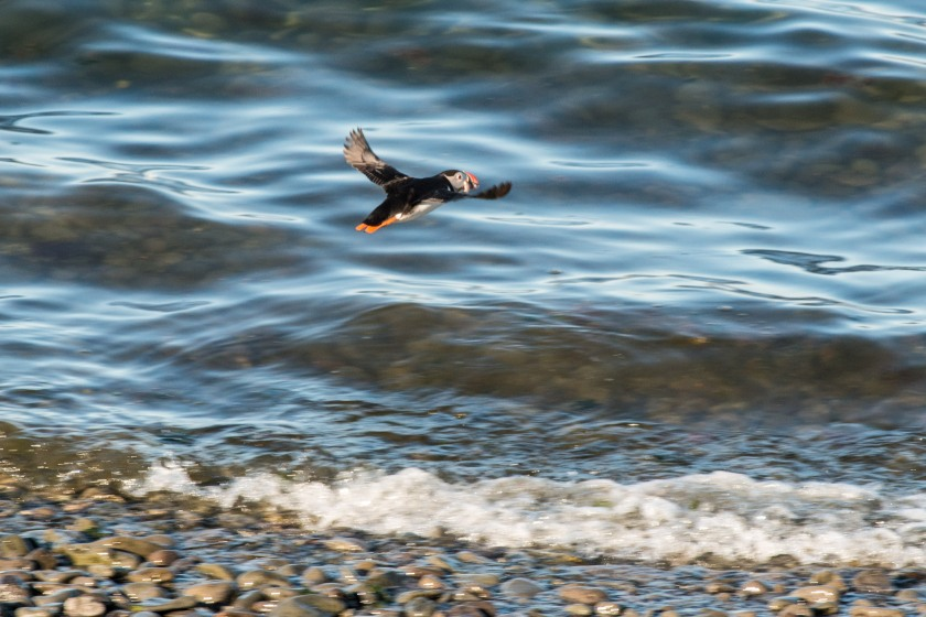 #puffin, #inflight, #flying, #bird, #nature #wildlife, #iceland, #vigur
