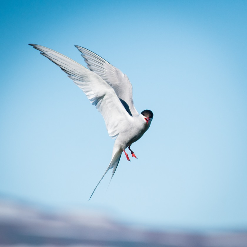 #tern, #flight, #freezemotion, #nikond800, #iceland, #vigurisland, #bird, #birdphotography