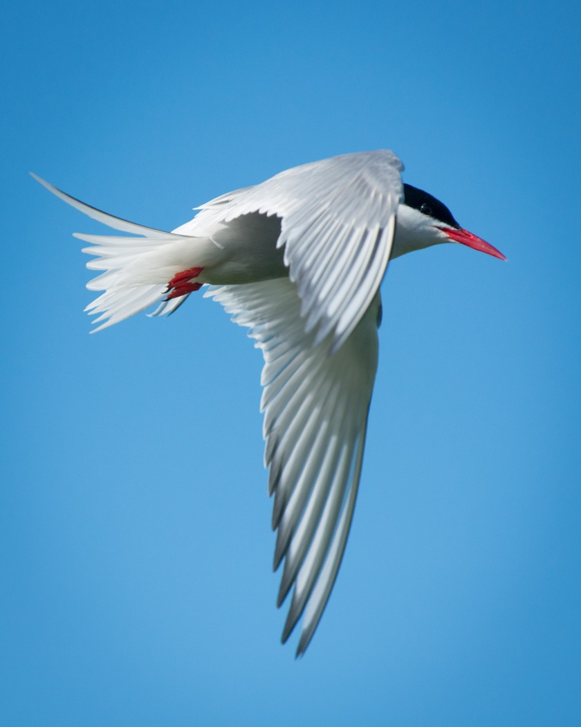 #bird, #tern, #arctictern, #iceland, #vigurisland, #windstar, #flight, #migration
