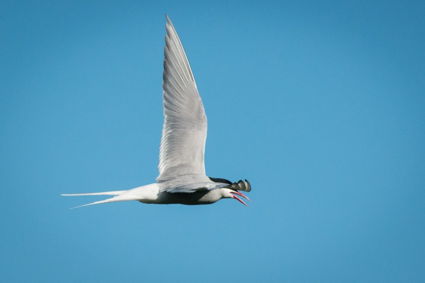 #bird, #tern, #arctictern, #iceland, #windstar, #vigurisland, #nikond800, #flight, #nature, #wildlife