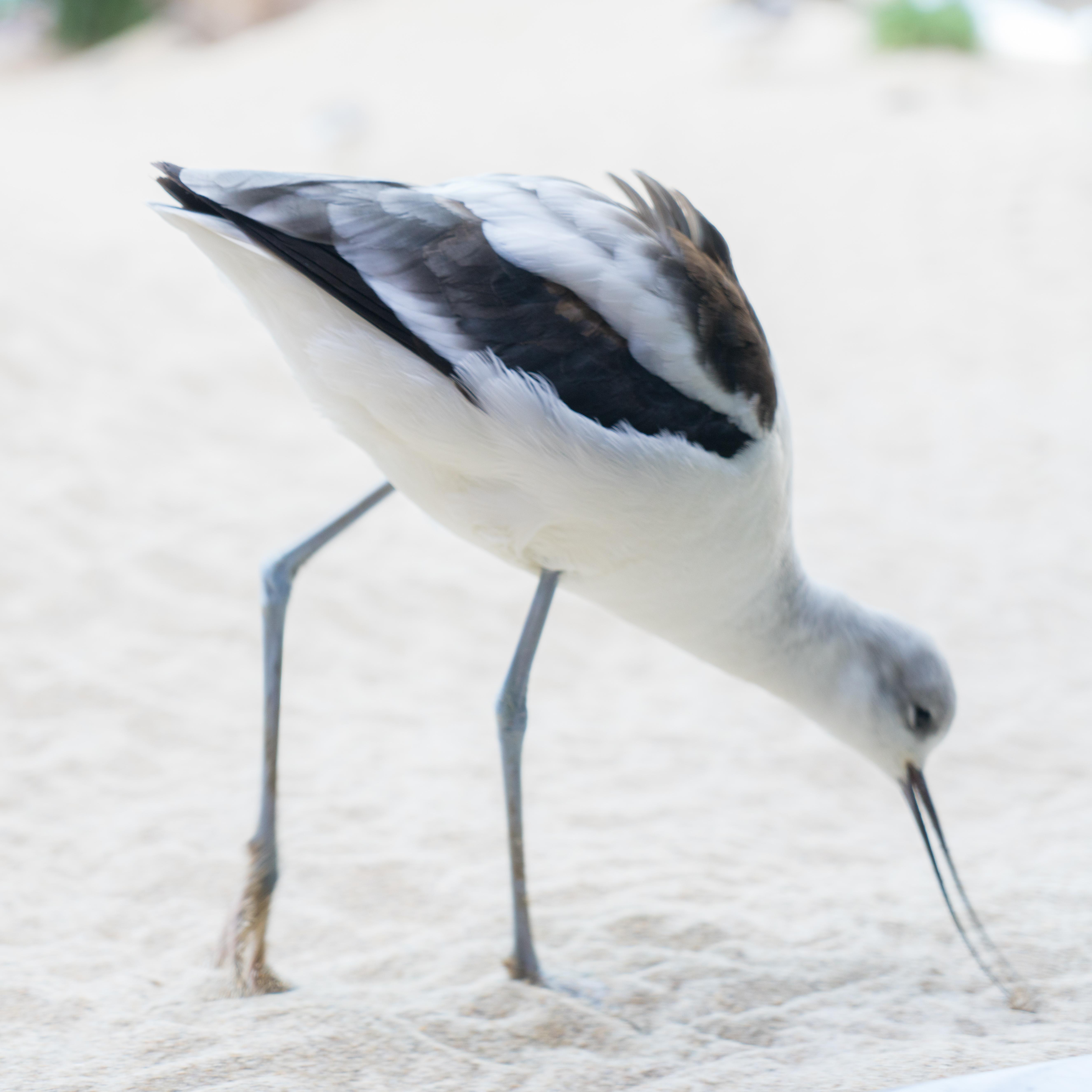 #avocet, #bird, #wildlife, #monterey, #aquarium, #shorebird, #wadingbird