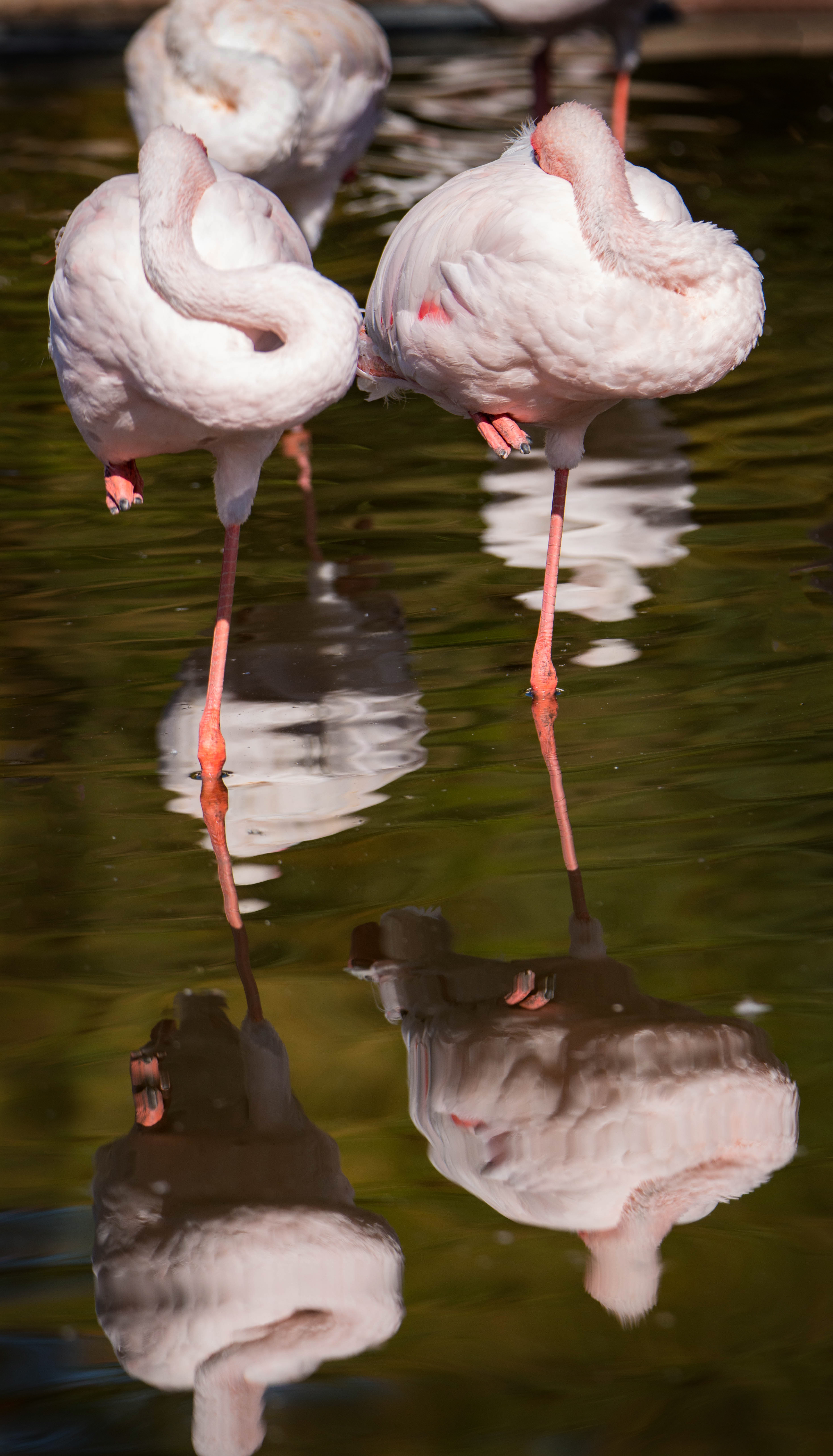 #sleeping, #rainydays, #mondays, #tired, #reflection, #flamingo, #sandiego, #safaripark