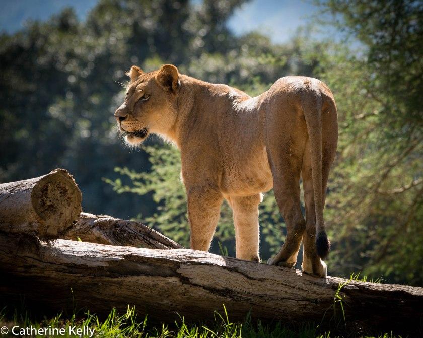 #lion, #lioness, #transvaal, #sandiego, #safaripark, #zoo, #sandiegozoo, #thingstodo, #animallover