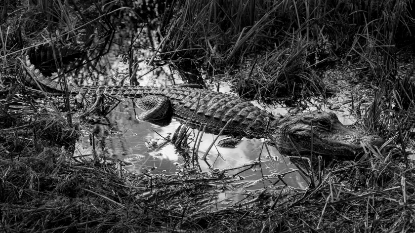 #gator, #alligator, #americanalligtor, #everglades, #nationalpark, #florida, #sharkvalley, #dangerous,