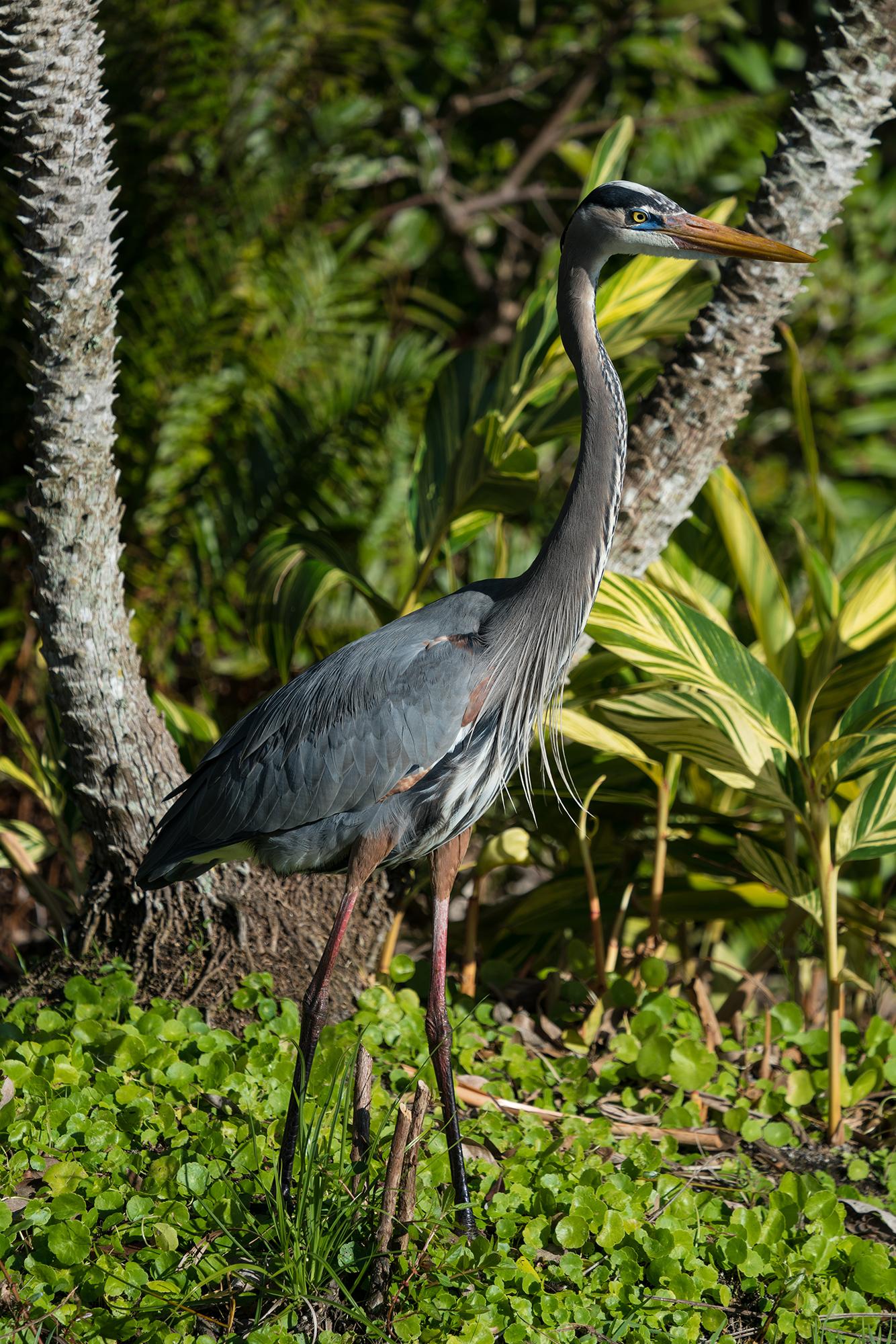 #heron, #blueheron, #greatblueheron, #eye, #breedingplumage, #standing, #wildlife, #birds, #florida