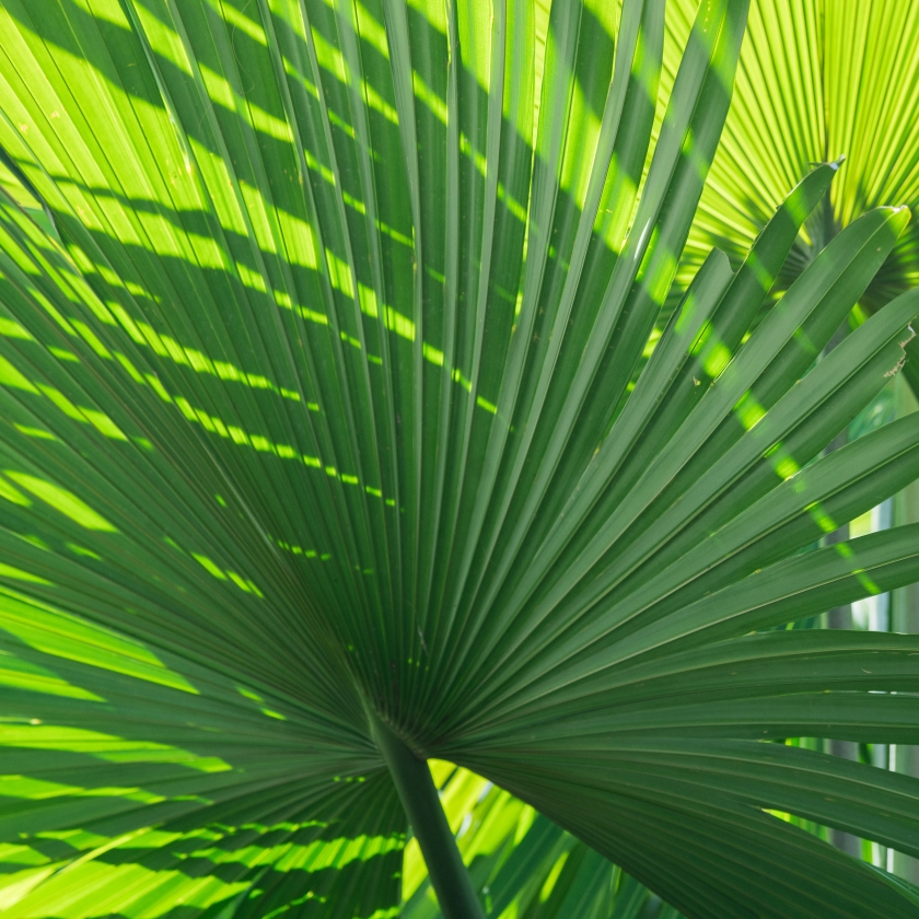 #fan, #fanpalm, #lline, #shadow, #green, #spring
