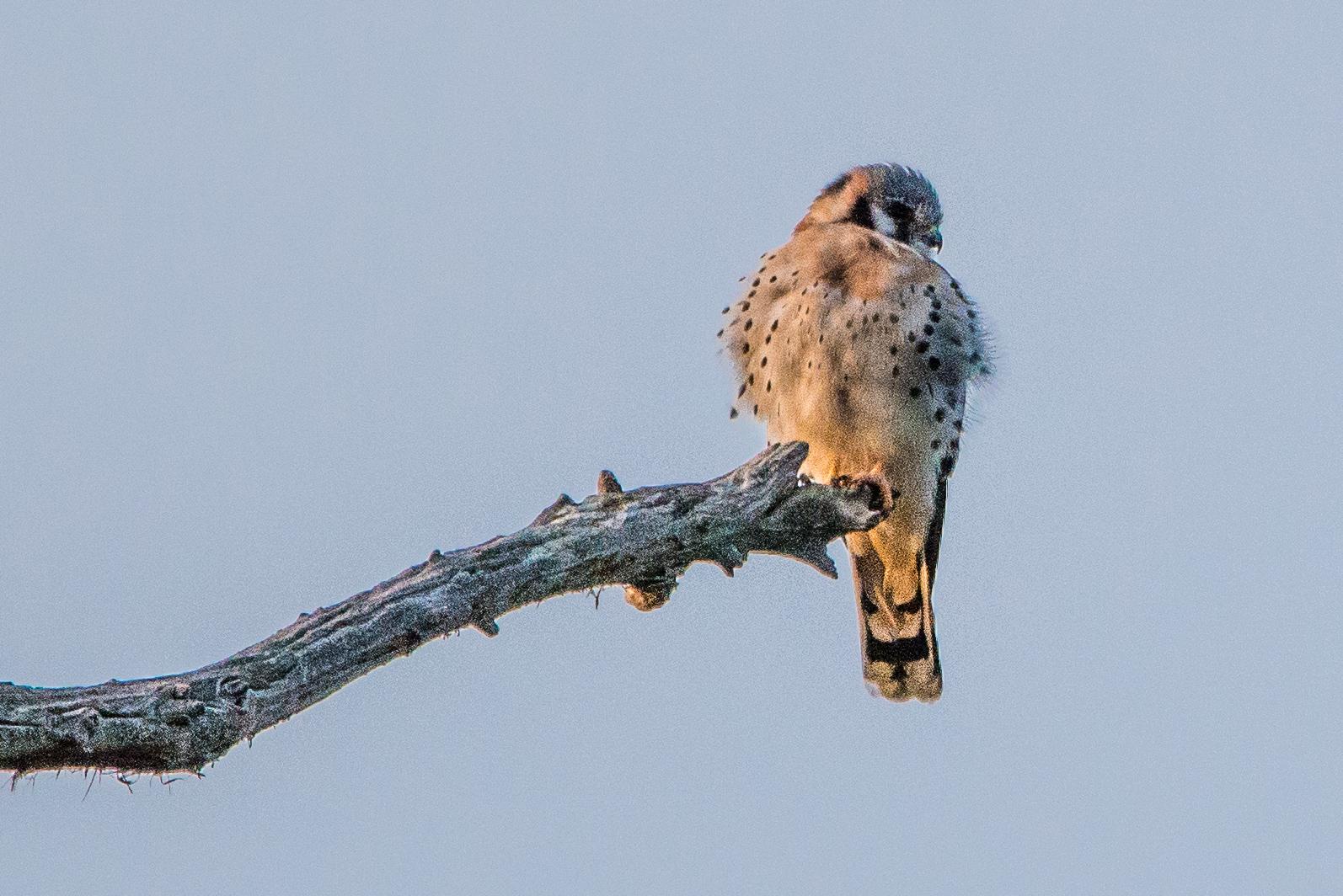 #kestrel, #bird, #wildlife, #photography, #birdphotography, #florida, #birdofprey, #spots