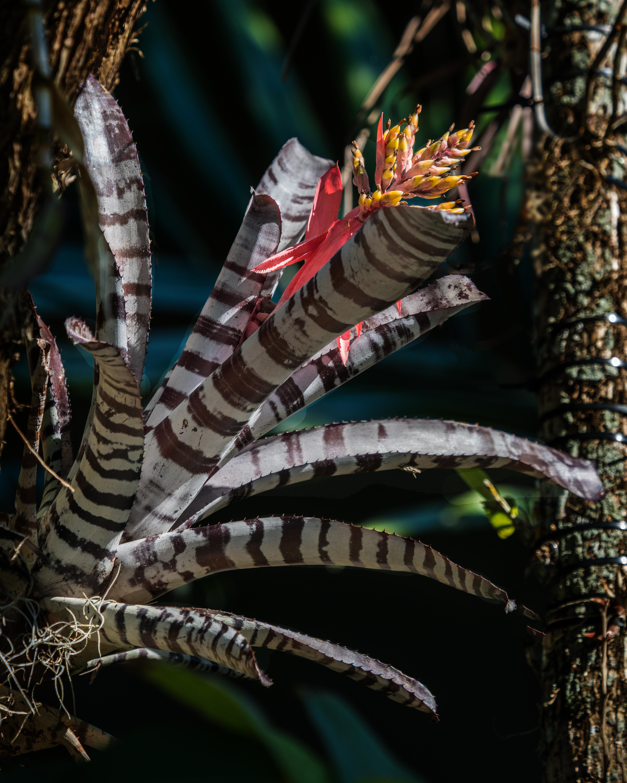 #zebra, #bromeliad, #tropics, #naplesbotanicalgarden, #naples, #florida