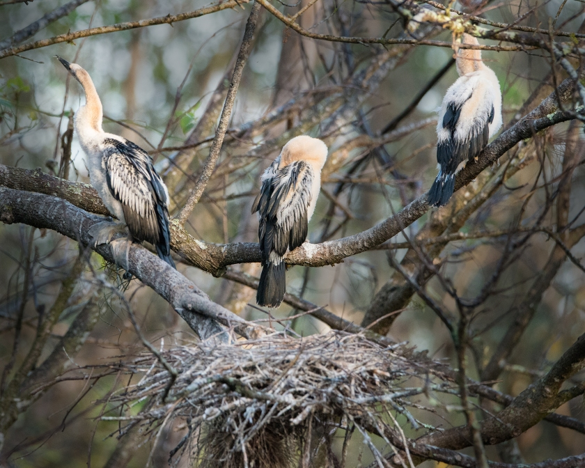 #anhinga, #chicks, #baby, #conrkscrew, #swamp, #florida, #birds