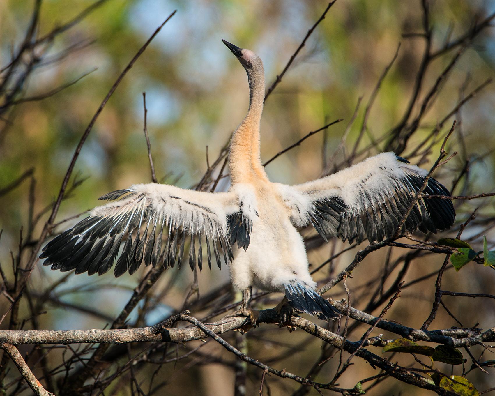 #anhinga, #baby, #onemonthold, #bird, #florida, #corkscrew
