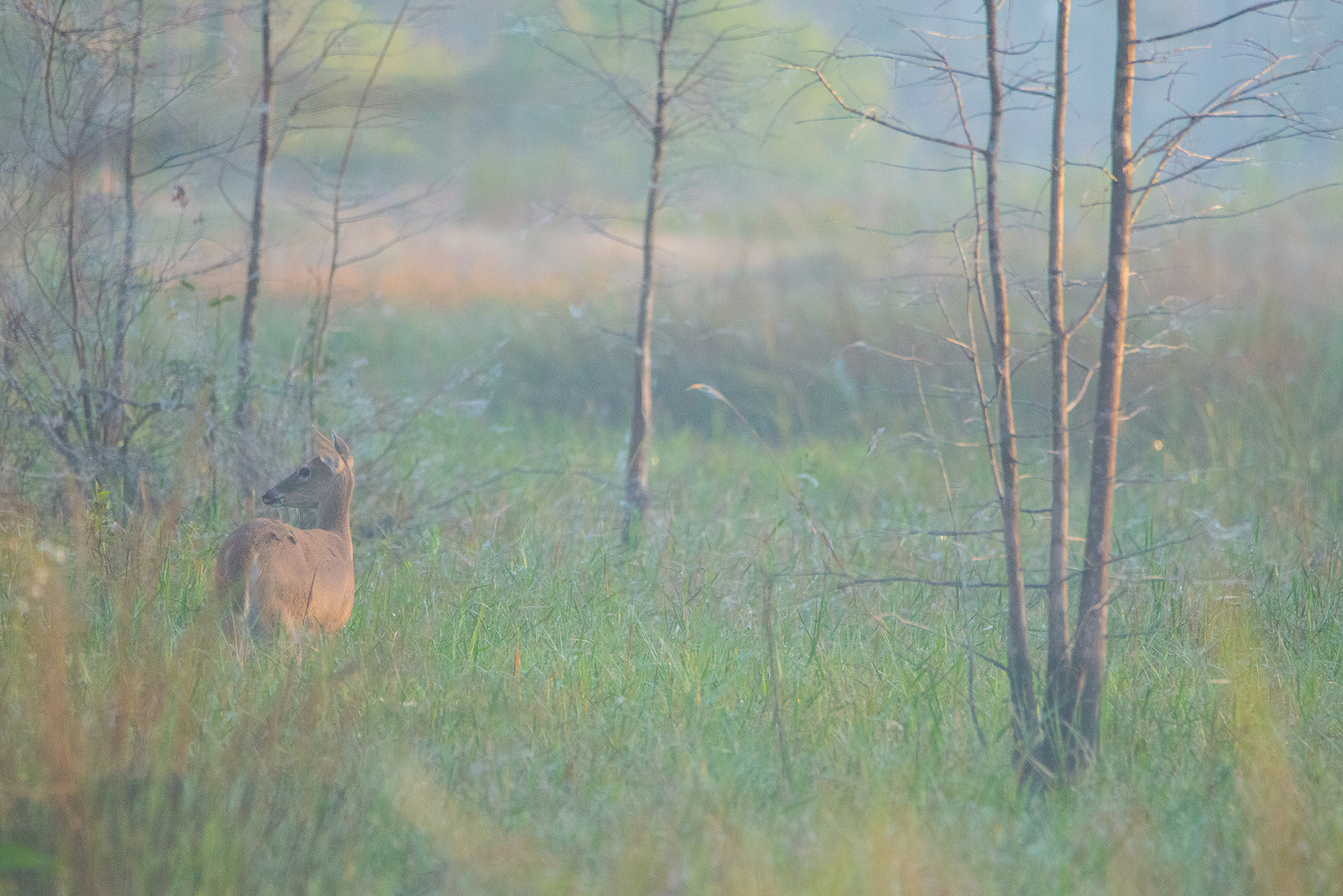 #deer, #florida, #dawn, #pastel, #meadow