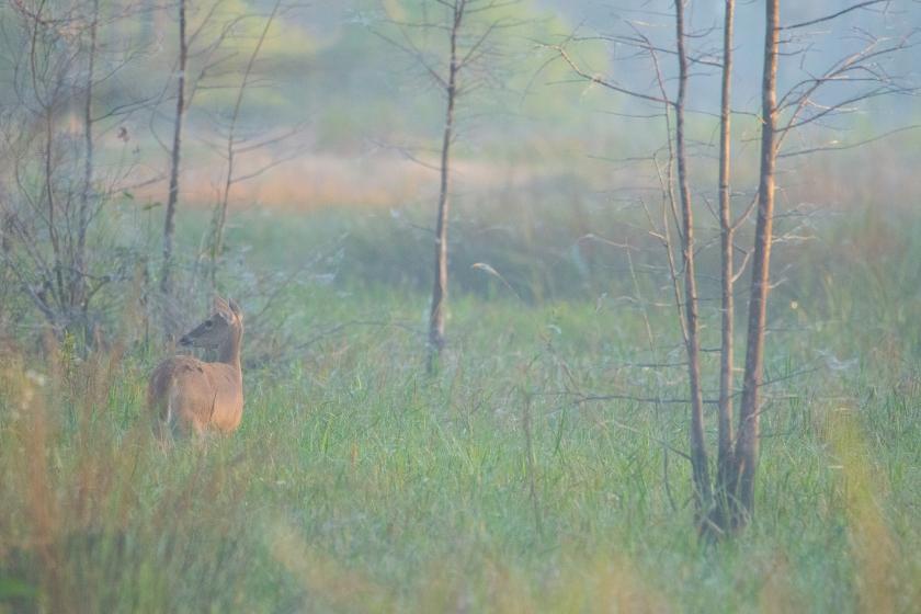 #deer, #florida, #dawn, #pastel, #meadow