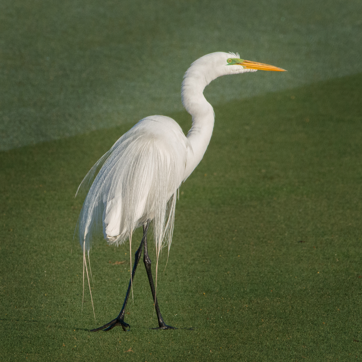#greatwhiteegret, #feathers, #birds, #mating, #breeding, #plumage, #naples, #florida, #egret