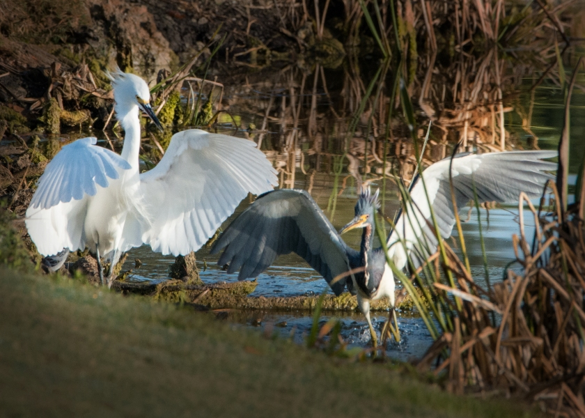 #egret, #heron, #aggression, #birds, #drama, #feathers, #getout, #birdphotography, #nature, #wildlife