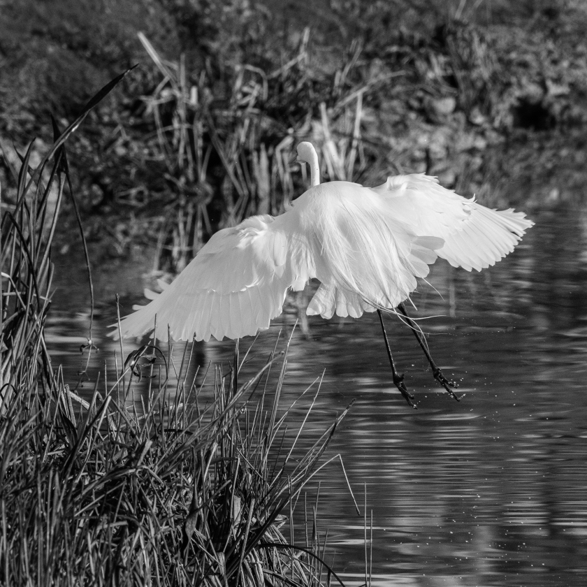 #wings, #feathers, #egret, #florida, #birds, #flight, #angel