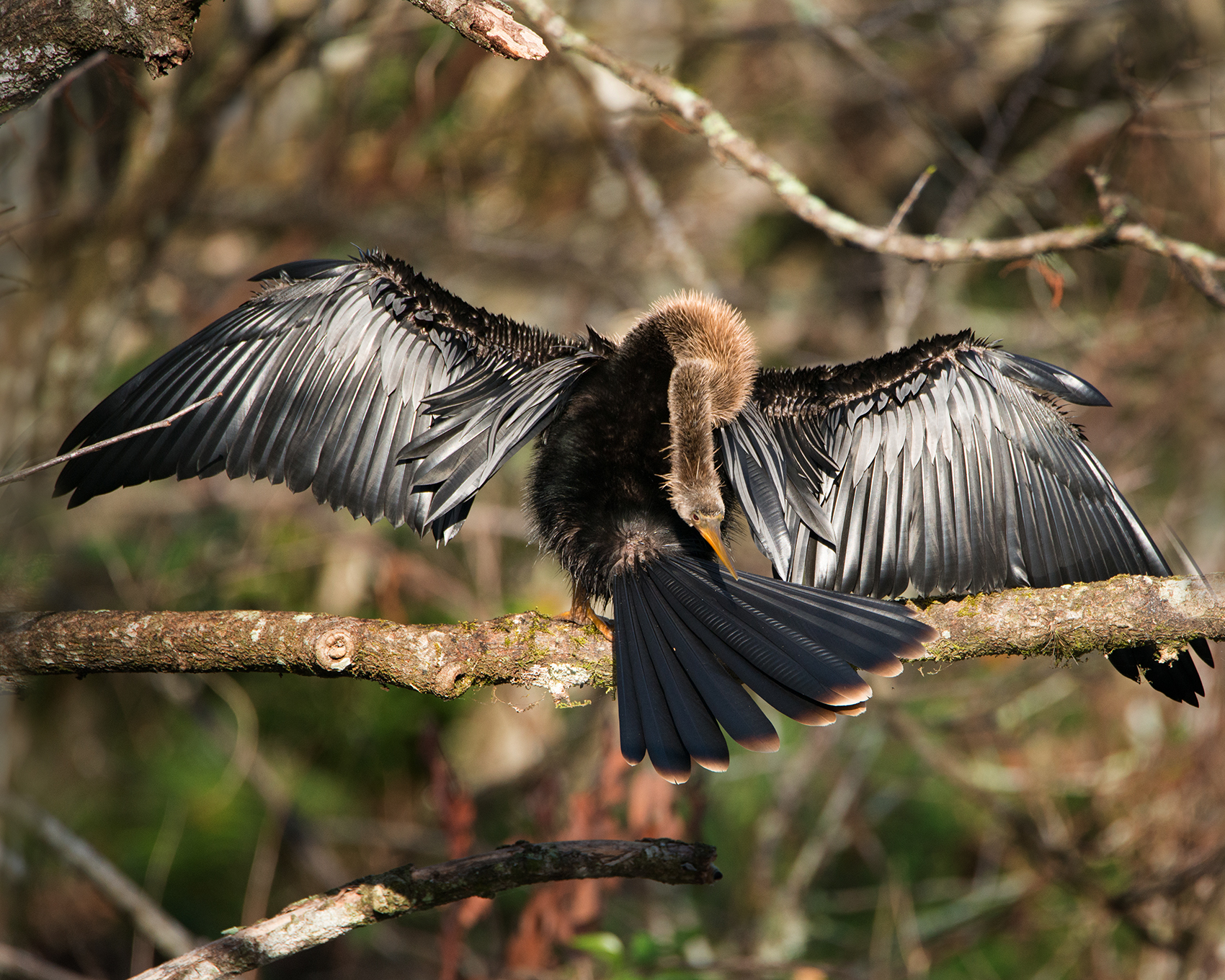 #anhinga, #adult, #black, #neck, #mother, #bird, #florida, #corkscrew