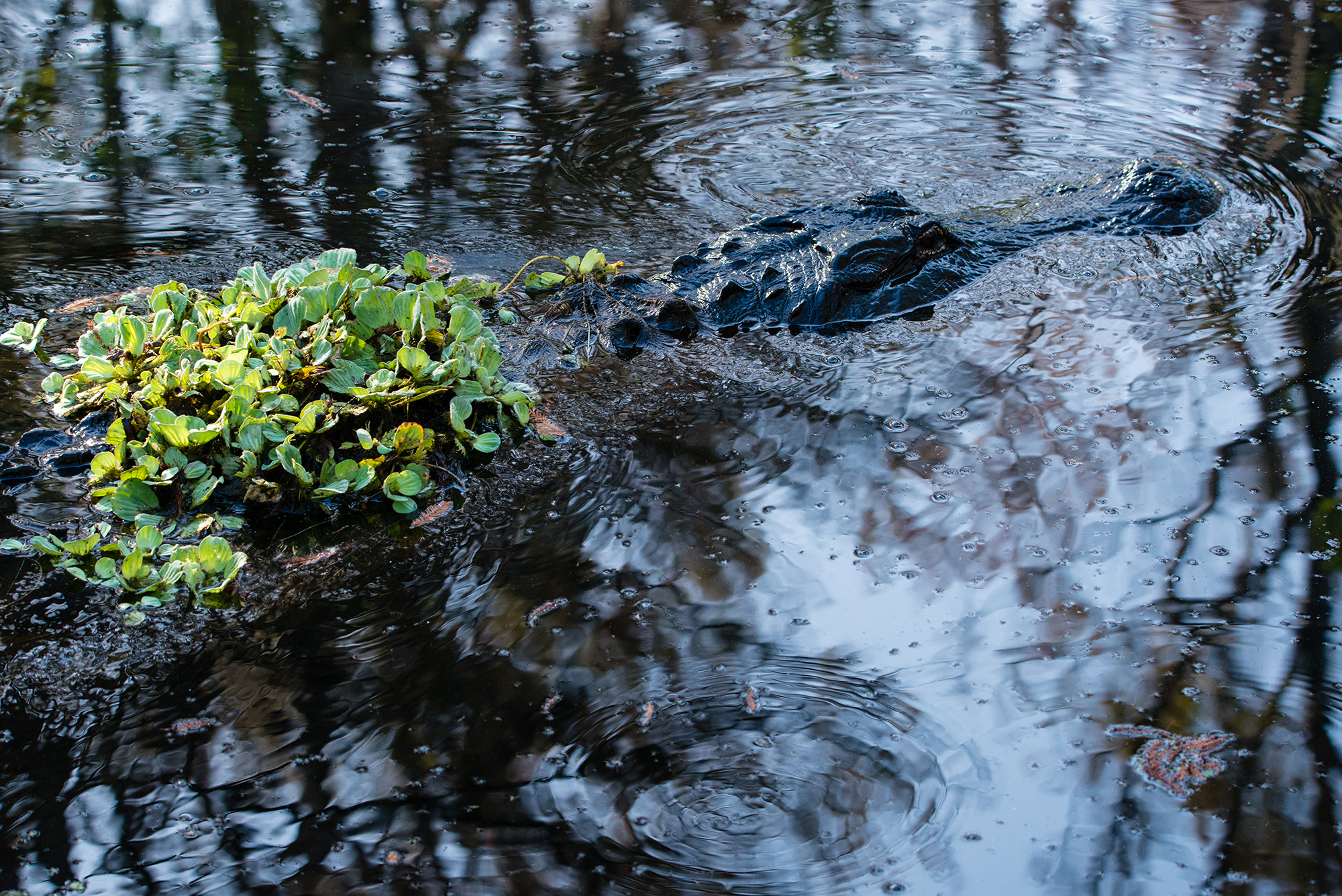 #alligator, #corkscrew, #swamp, #water, #predator, #florida, #southwestflorida, #wildlfie, #camouflage
