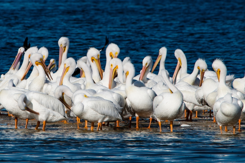 #pelican, #whitepelican, #snowbirds, #white, #birds, #blueandwhite, #wildlife, #nature, #photography, #nikon, #tamron