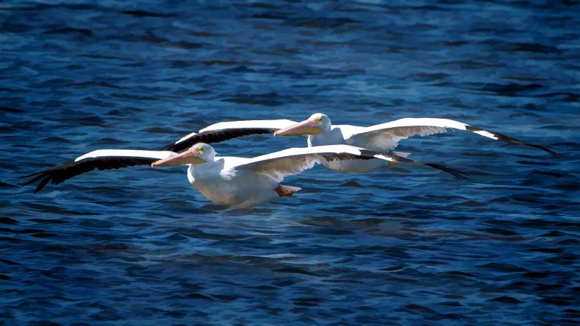 #pelicans, #dingdarling, #sanibel, #florida, #painting, #photography, #topaz, #nikon, #tamron