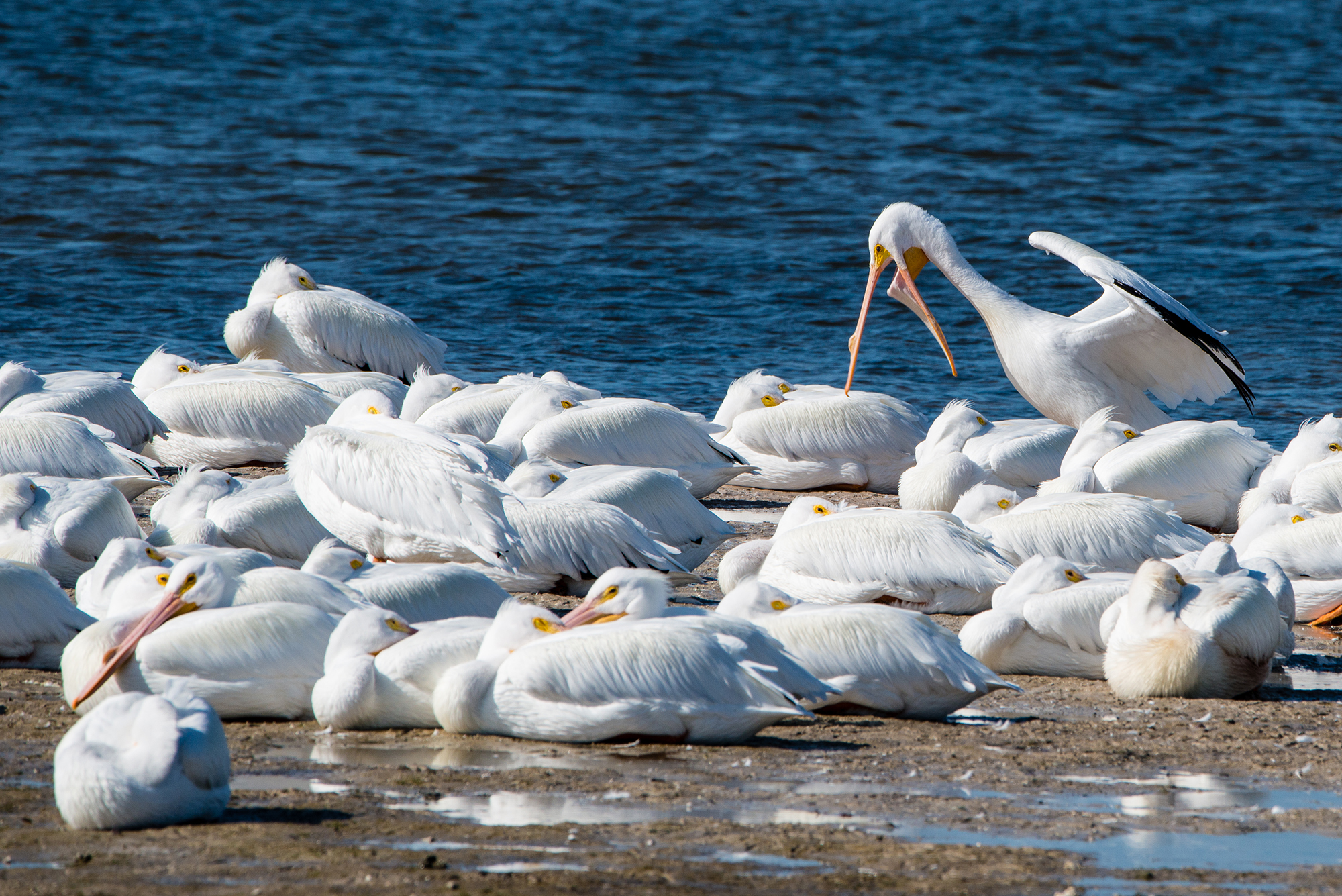 #whitepelicans, #pelican, #sanibel, #dingdarling, #morningnap, #wakeup, #wakeupcall, #nikon, #tamron, #RRS, #nature, #behavior