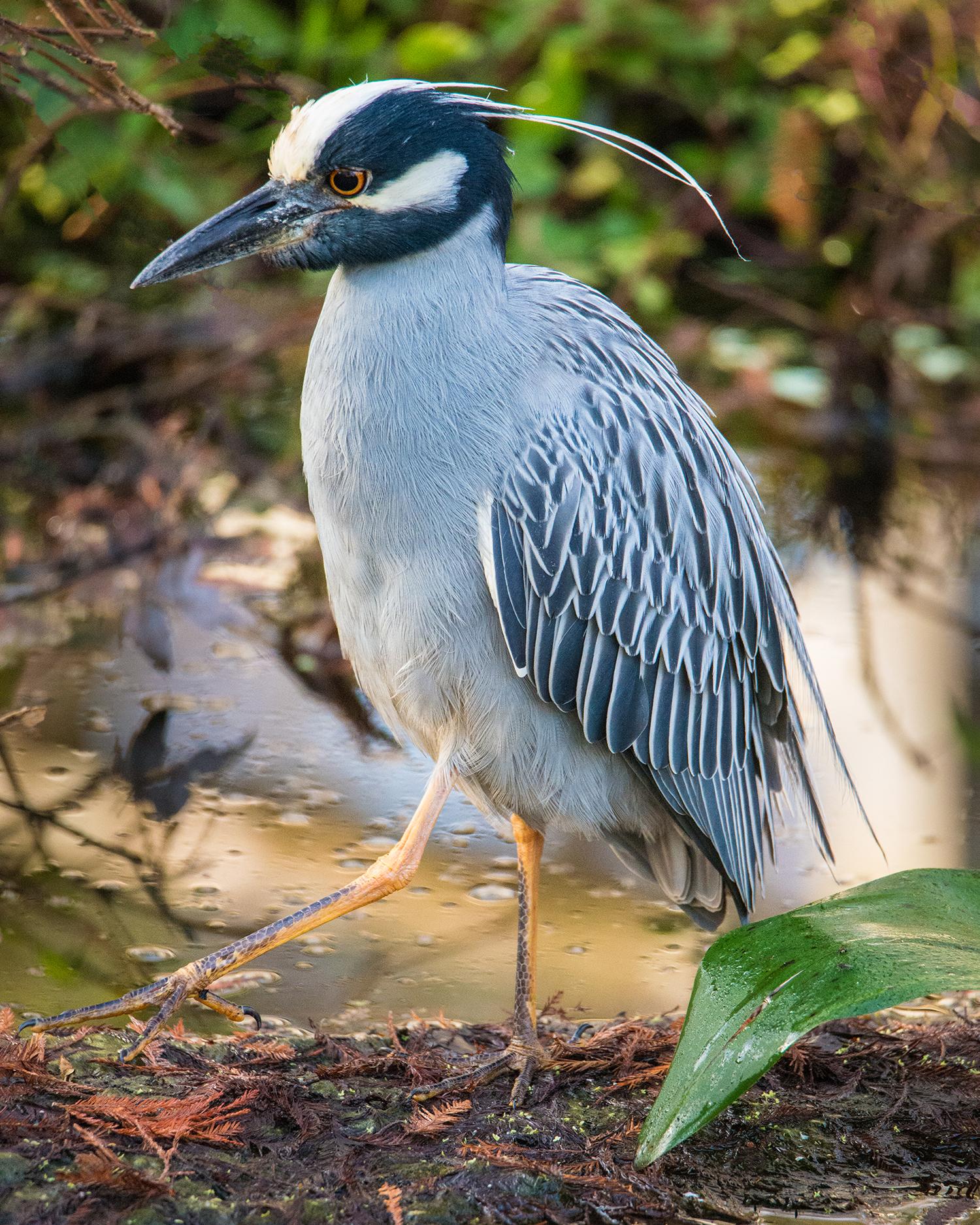 #nightheron, #yellowcrownednightheron, #heron, #bird, #florida, #naples, #Corkscrew, #birdphotography