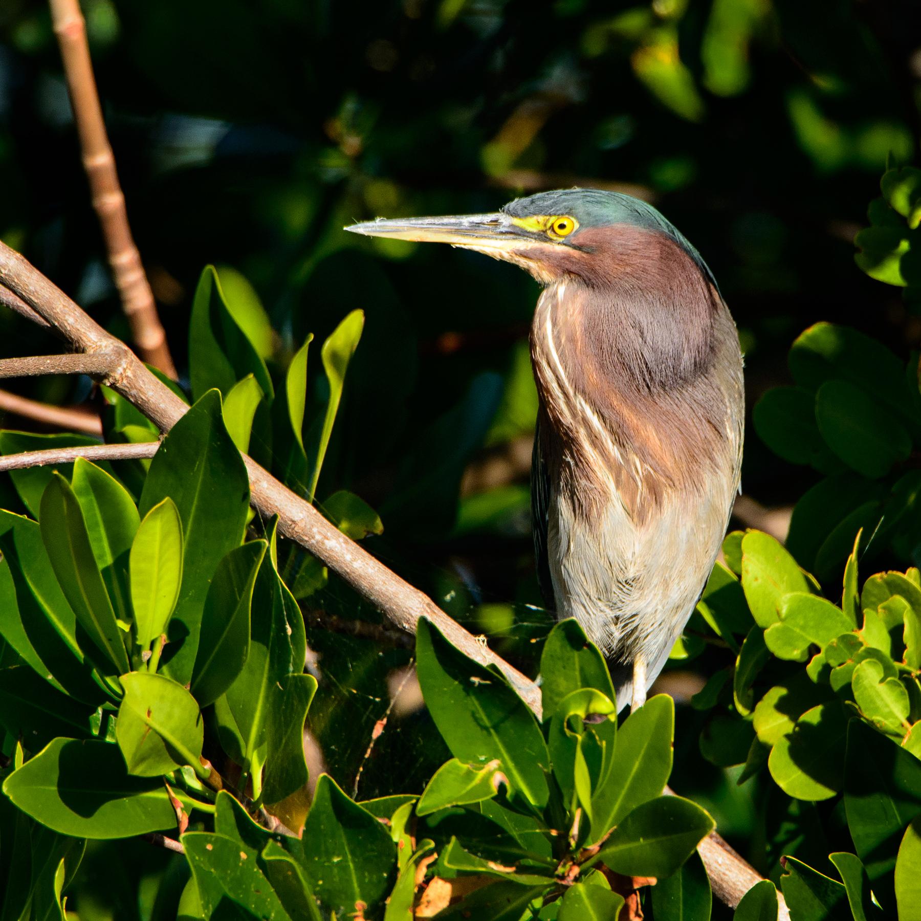 #greenheron, #sanibel, #florida, #bird, #birdphotography, #heron, #nikon, #tamron, #reallyrightstuff