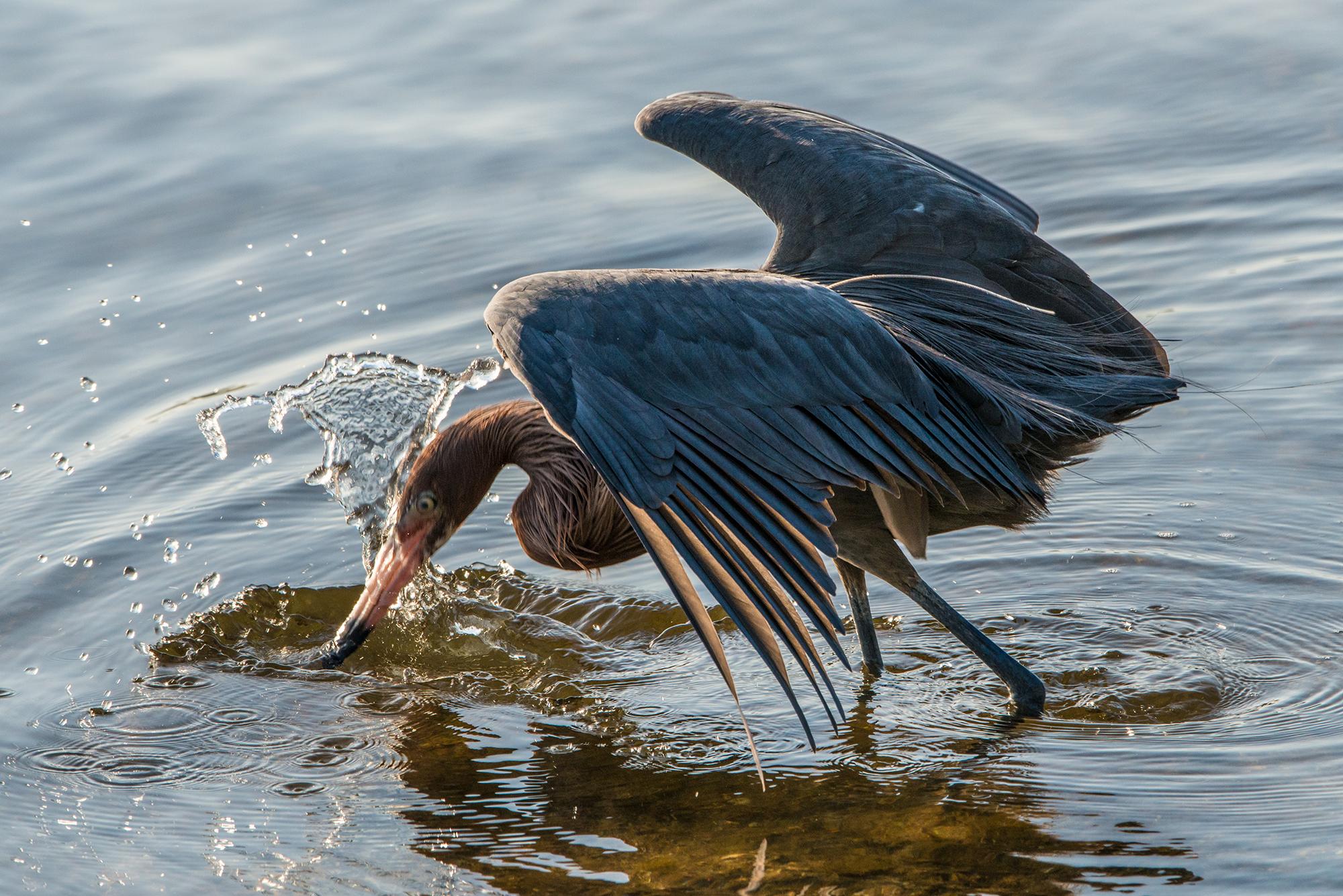 #reddishegret, #bird, #wadingbird, #heron, #sanibel, #dingdarling, #fishing, #behavior, #dance, #tamron, #nikon, #florida