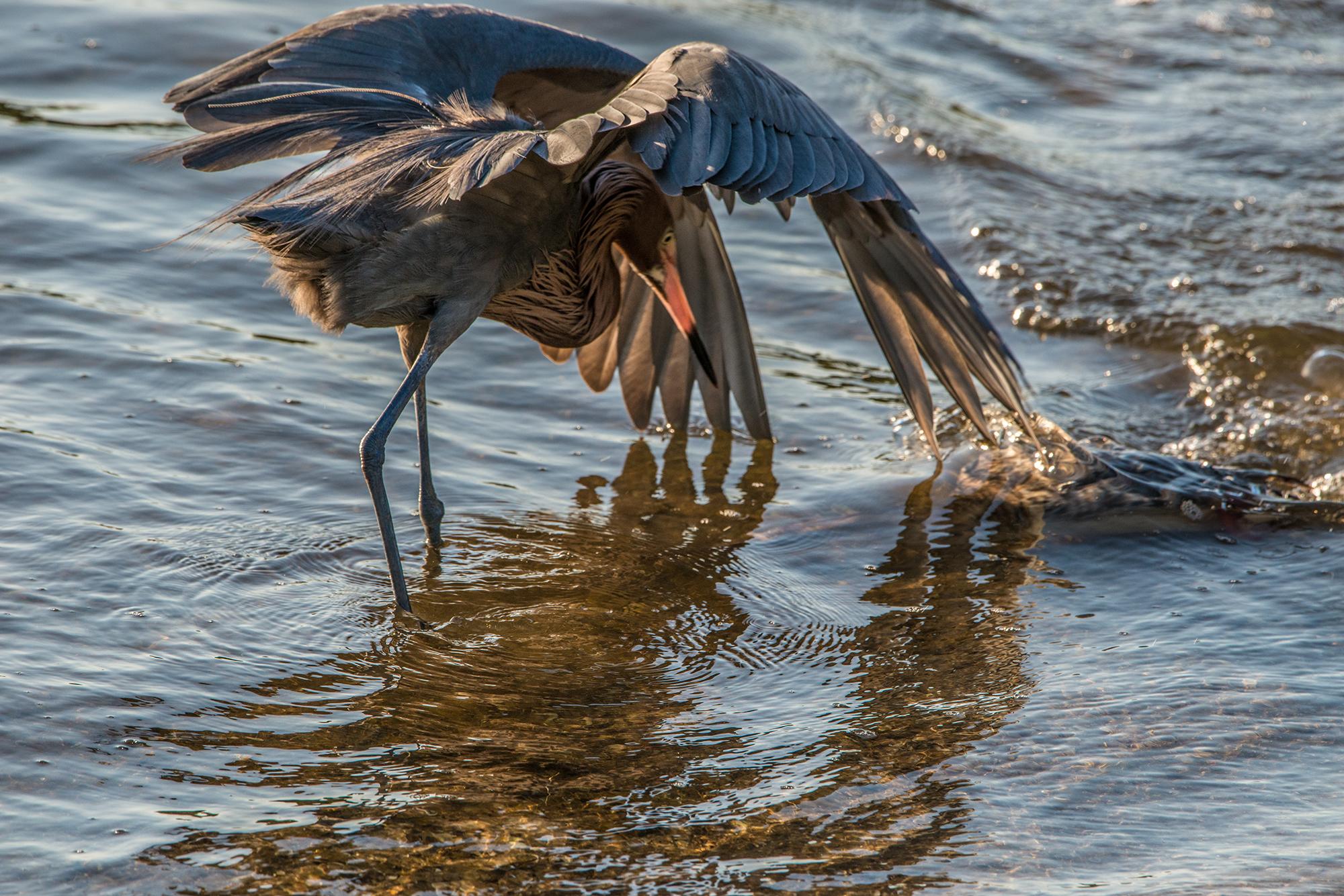 #reddishegret, #heron, #dance, #feeding, #sanibel, #dingdarling, #behavior, #florida, #wadingbird, #bird #tamron, #nikon