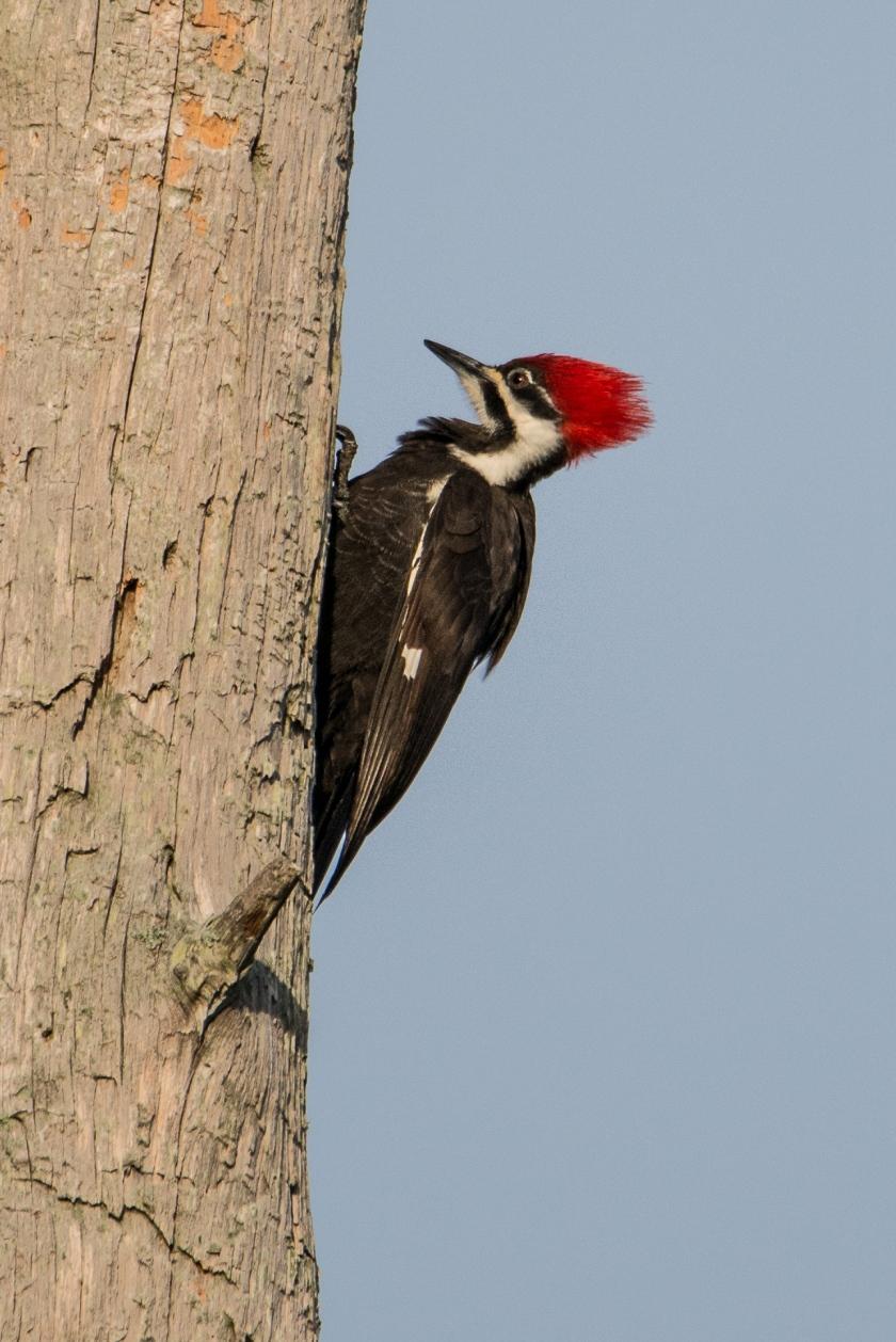 #woodpecker, #birds, #tamron, #nikon, #nature, #pileatedwoodpecker, #naples