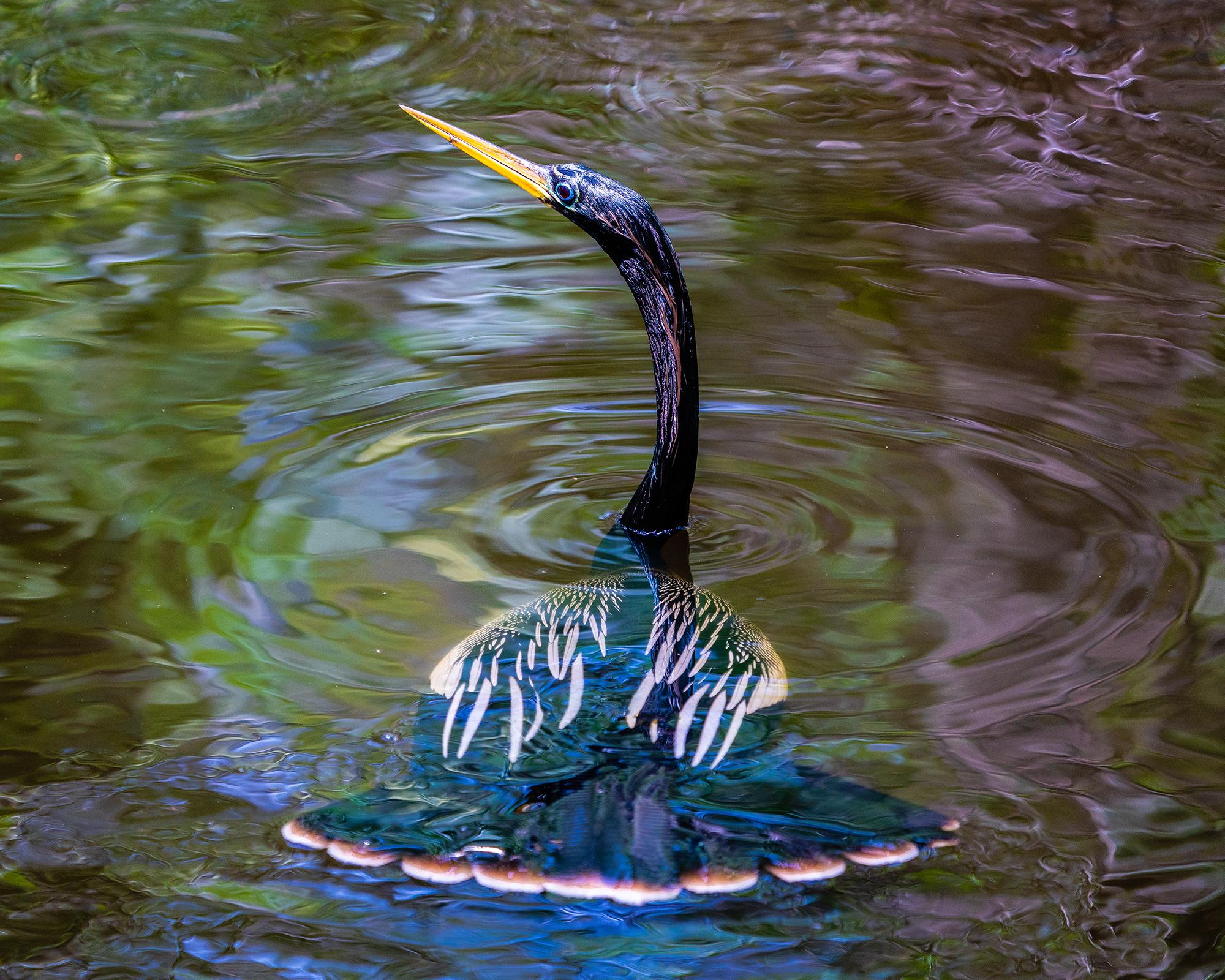 #anhinga, #maleanhinga, #corkscrew, #underwater, #snakebird, #action, #bird, #sony, #sonyzeiss