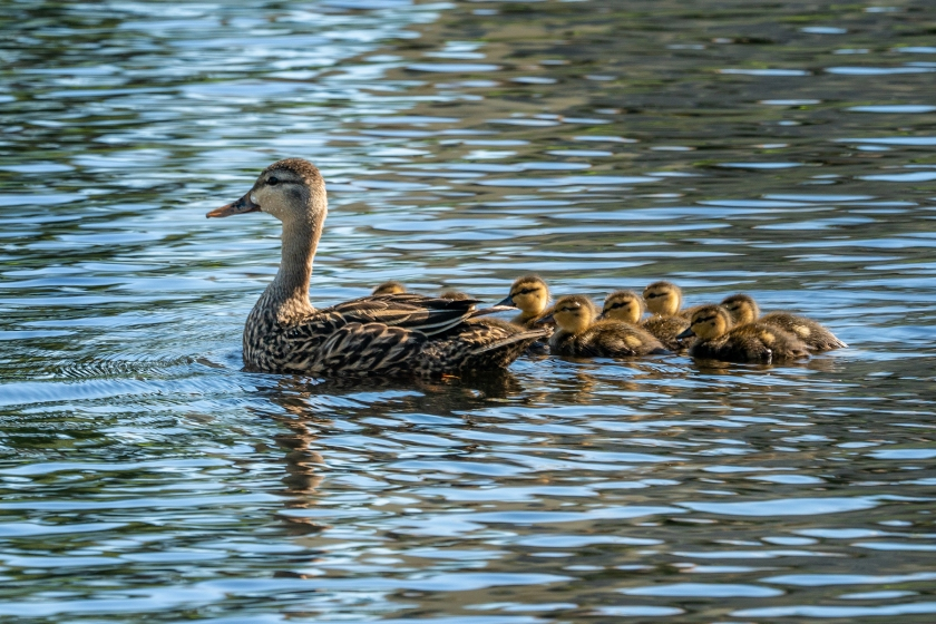 #ducklings, #mother, #ducks, #wildlife, #spring, #babies, #lake, #naples, #florida, #sony, #morning