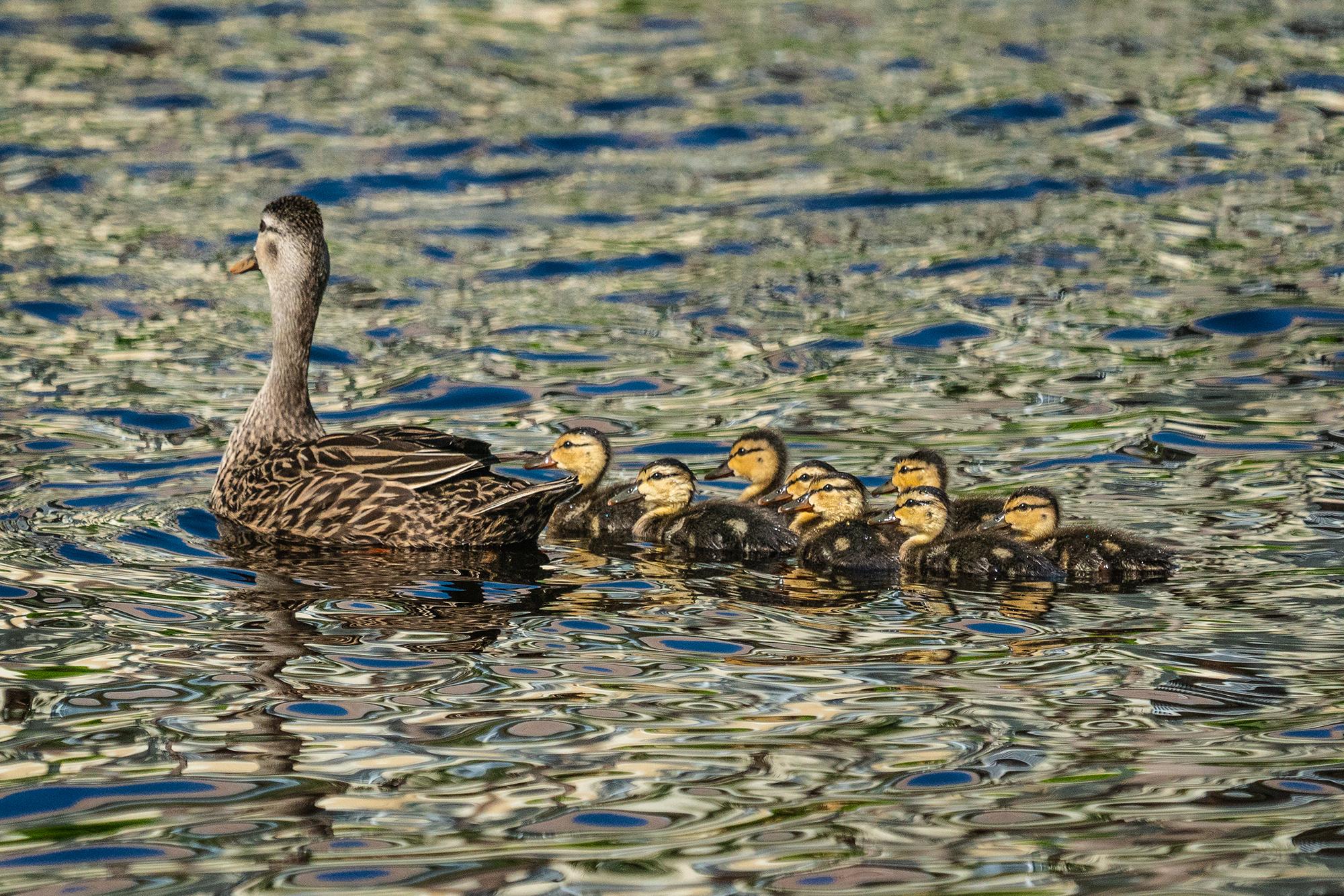 #ducklings, #duck, #mother, #lake, #swim, #morning, #sony, #family, #wildlife, #naples, #florida, #nature, #spring