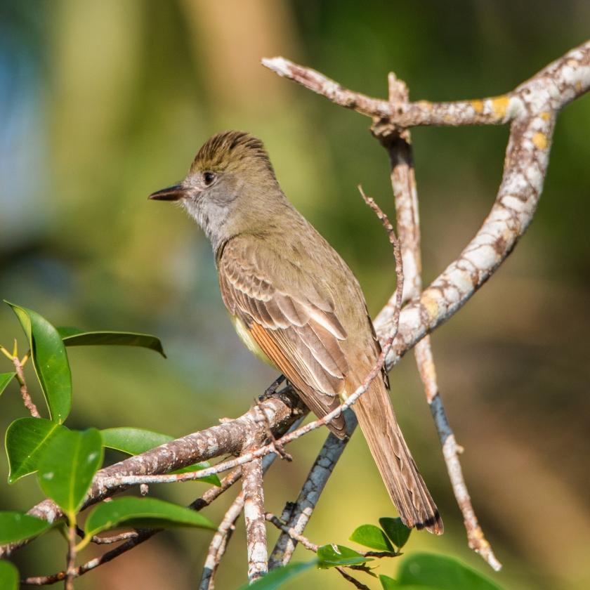 #bird, #birdphotography, #nature, #nikon, #tamron, #nature, #naples, #florida, #rpgolfclub