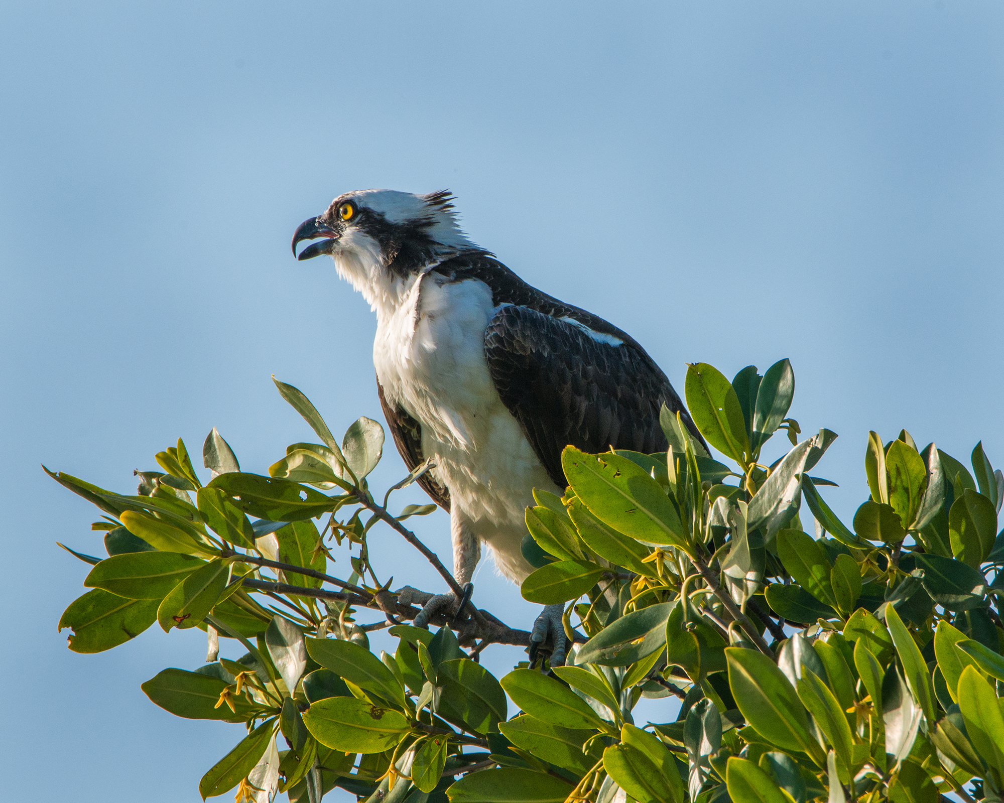 #sanibel, #osprey, #eye, #male, #perch, #dusk, #dingdarling