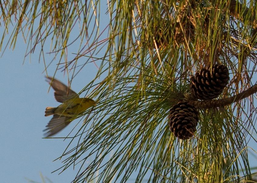 #palmwarbler, #bird, #birdphotography, #dawn, #inflight, #yellow