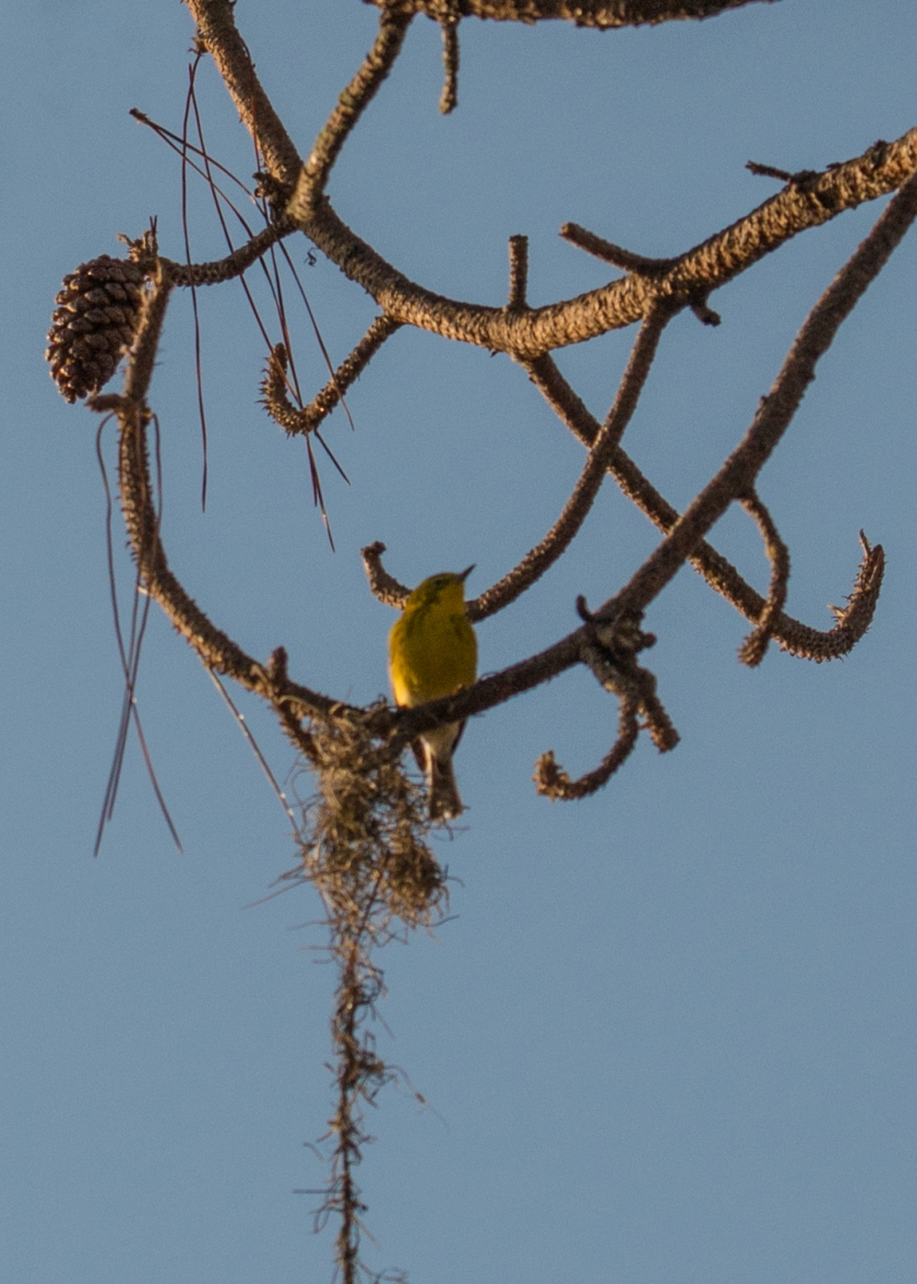 #palmwarbler, #sunlight, #bird, #birdphotography, #nature #nikon, #tamron, #pine, #florida #naples